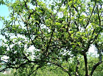 Cider orchard in Bampton
